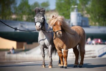 Miniature horses in city