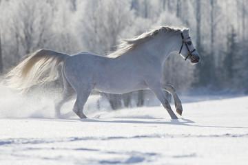 White Welsh horse running in winter