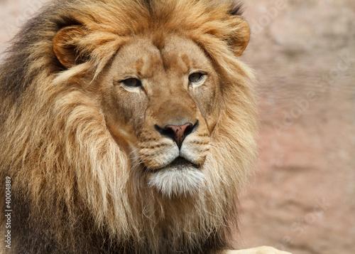 lion male
