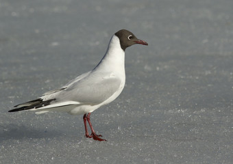 Black-headed gull on the ice