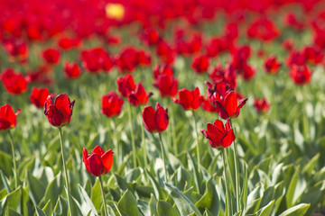 A spring field with red tulips in the Netherlands