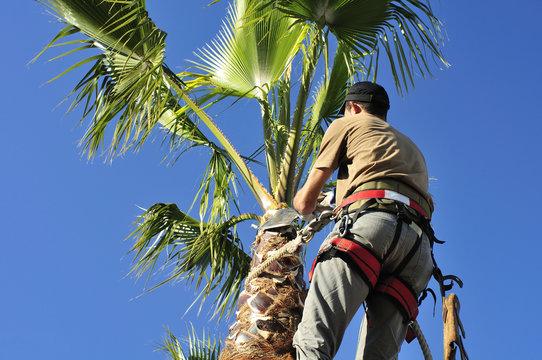 Tree Surgeon in Harness Trims Palm Tree