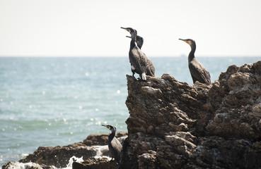 Cormorants Resting