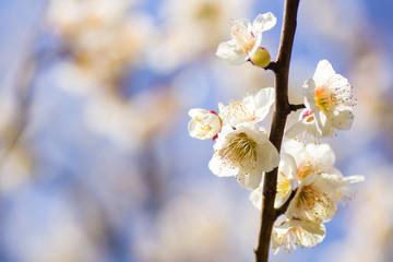 The ume blossoms