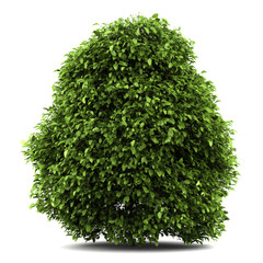 common holly bush isolated on white background