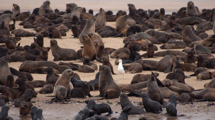 many seals at the seashore