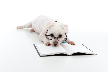 Wall Mural - Lazy dog with head resting on book