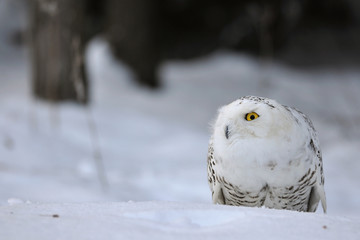 Wall Mural - crouched snowy owl