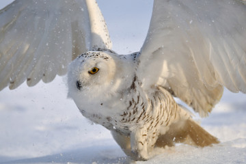 Wall Mural - Snowy owl flap wings