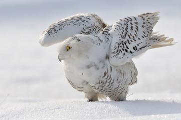 Fototapete - Snowy owl flap wings
