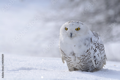 Fototapete snowy owl sitting on the snow