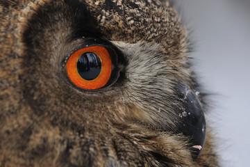Wall Mural - Eurasian Eagle Owl face