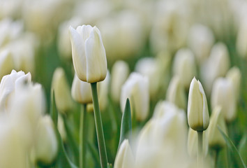 Field of white tulips during spring