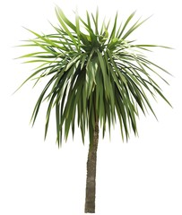 Palm Tree - Colored and Detailed Illustration