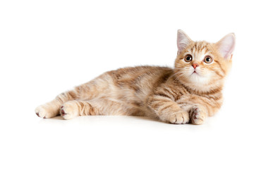 Photo Sur Toile - Lying pretty british tabby kitten
