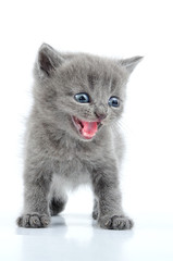 fuuny gray kitten