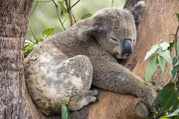 A Koala Bear at a nature reserve near Sydney, Australia.