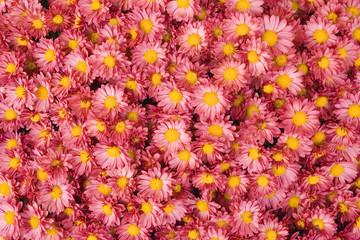 mazzo margherite rosa sfondo desktop