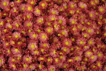 margherite rosa fiori desktop