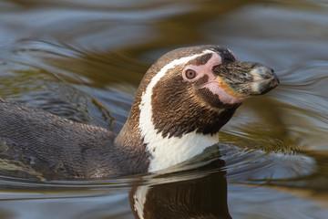 A swimming Humboldt penguin