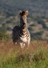 Portrait of a Burchel Zebra