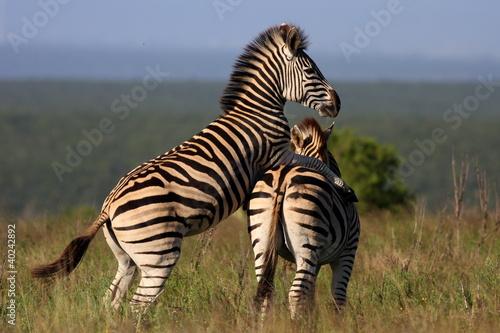 Zebra Mating Stock Photo And Royalty Free Images On Fotoliacom