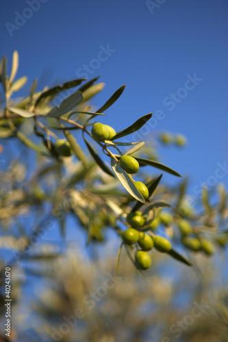 Provence olives olivier fruit culture soleil arbre - Arbre provencal ...