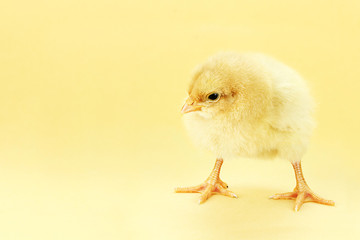 Chick On Yellow Background