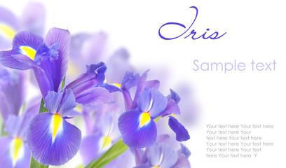 Blue irises isolated on white