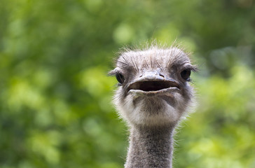 Close up Ostrich on a background of green grass