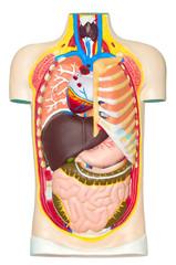 Human anatomy dummy