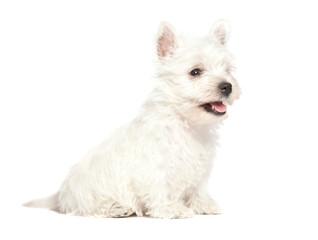 Fototapete - West Highland White Terrier puppy