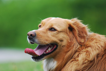 panting dog with green background