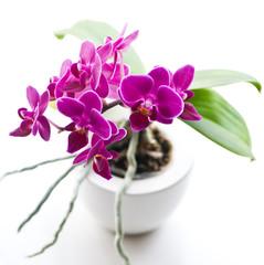 Fototapeta orchid pot square obraz