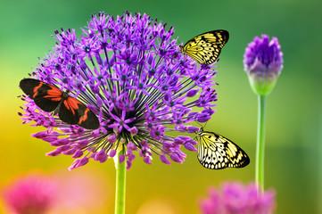 Sternkugellauch mit Schmetterlingen