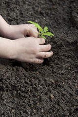 children's hands and little plant - gardening