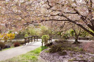 Fototapete - Kirschbaum im Frühling
