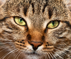 tabby cat. portrait of yellow-eyed tabby cat