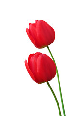 Two red bright tulips on white background