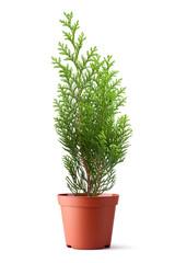 Thuja sapling in a pot