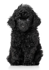 Wall Mural - Black toy poodle puppy