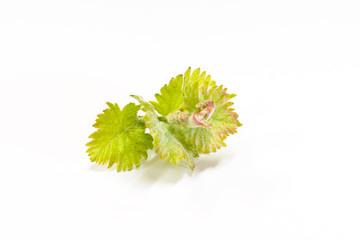 Sauvignon Blanc Germoglio