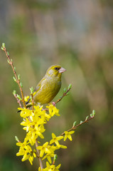 Greenfinch on Yellow flowers