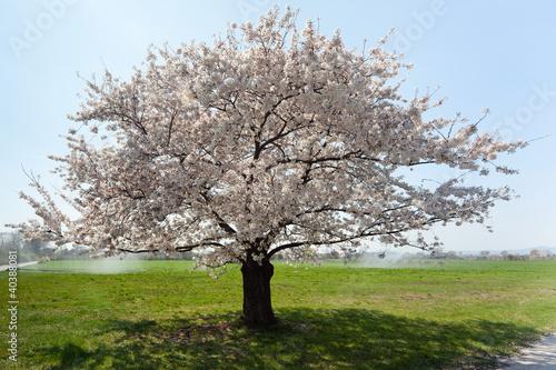 Fototapete Kirschbaum in voller Blüte