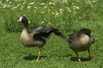 Pair of goose