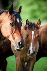 Bay mare with foal in pasture