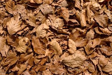 tappeto di foglie secche di faggio