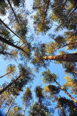 tops of the trees go straight to the sky