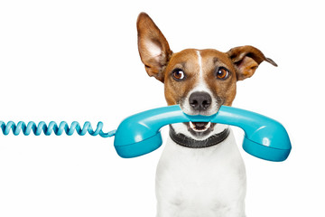 Obraz dog on the phone and looking th the side - fototapety do salonu
