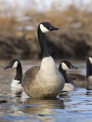 Standing Goose